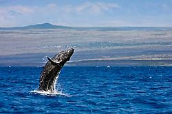 humpback whale, Megaptera novaeangliae, baby breaching, Hawaii, Pacific Ocean Oce