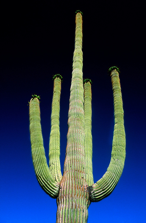 Saguaro Cactus, Organ Pipe Cactus National Monument, near Ajo, Arizona USA