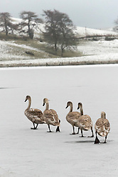 © Licensed to London News Pictures. 08/01/2021. Llanfihangel Nant Melan, Powys, Wales, UK. Immature swans walk on a frozen lake in a wintry landscape near Llanfihangel nant Melan in Powys, Wales, UK. Photo credit: Graham M. Lawrence/LNP