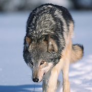 Gray wolf (Canis lupus) adult. Captive Animal