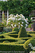 Buxus - box parterre in front of house with a white rose - Rosa 'Iceberg'?- September