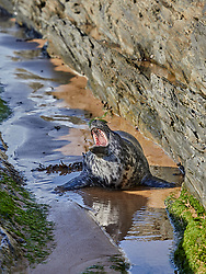 A newly moulted Grey Seal pup on the North Devon coast, yawning after an exhausting swim
