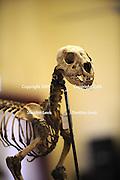 Puma skeleton. 2009 Guildford Heritage Festival, Western Australia