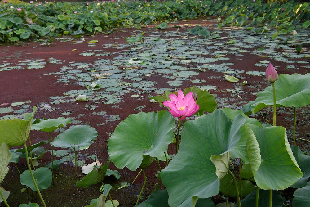 Indian, or Sacred Lotus flowers, Nelumbo nucifera, growing in the East Lake Greenway park, Wuhan, Hubei, China