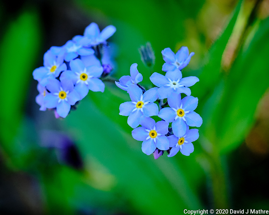 Forget-me-Not flowers.  Image taken with a Fuji X-H1 camera and 200 mm f/2 lens + 1.4x teleconverter (ISO 800, 280 mm, f/4, 1/400 sec)