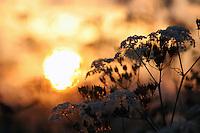 Hundekjeks (skjermplantefamilien) i midnattsol, Anthriscus sylvestris, midnight sun