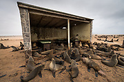 These Cape Fur Seals were fascinating, beautiful creatures, with very cute seal pups! However, the smell was overpowering from the smell of fish, excrement, urine and death. There were many dead seal pups, which looked to have been crushed by the sheer weight of adult Cape Fur Seals as they charge around the colony. <br />