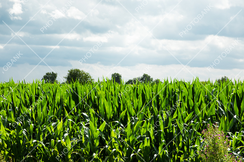Cultivated fields of corn, nobody