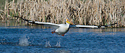 An American White Pelican takes off from Cherry River fish access in Bozeman, Montana.