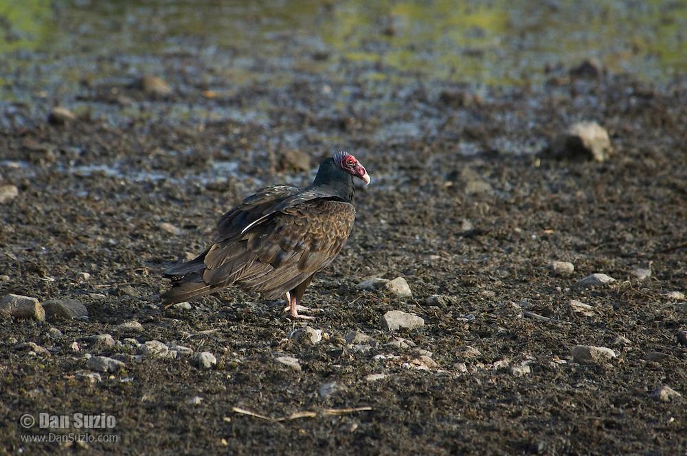 Turkey vulture, Cathartes aura, on shore of Pena Blanca Lake, Coronado National Forest, Arizona