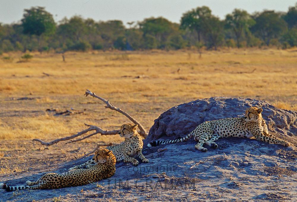 Three Cheetahs, Moremi, Botswana
