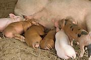 row of piglets nursing