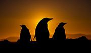 Gentoo penguins during sunset at The Neck, Saunders Island, the Falklands.