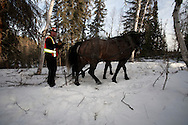 Photo Randy Vanderveen.Grande Prairie, Alberta.Bill Smith works a team of horses as he works with Dave MacNolty, the horse logger with the contract with the South Peace Municipalities Mountain Pine Beetle program, to remove infected trees. Horse logging is used in environmentally and people-sensitive areas.