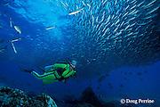 scuba diver and black-striped salemas, or grunts, Xenocys jessiae, endemic to Galapagos Islands, Ecuador,  ( Eastern Pacific Ocean ) MR 179