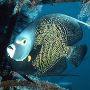 French Angelfish inhabit reefs and sandy areas in Tropical West Atlantic; picture taken  Roatan, Honduras.