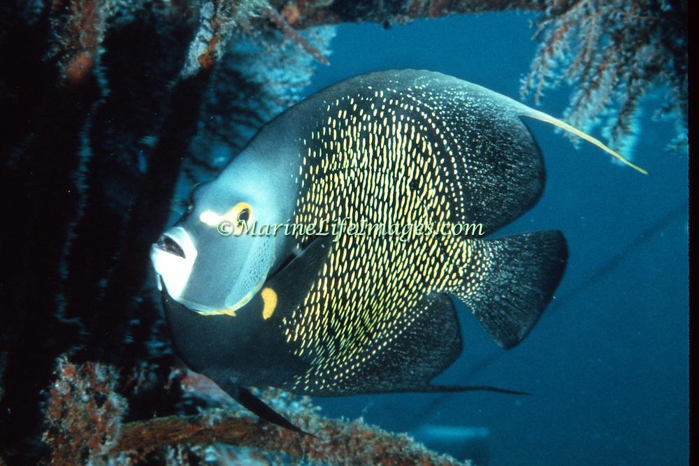 French Angelfish inhabit reefs and sandy areas in Tropical West Atlantic; picture taken  Roatan, Honduras.