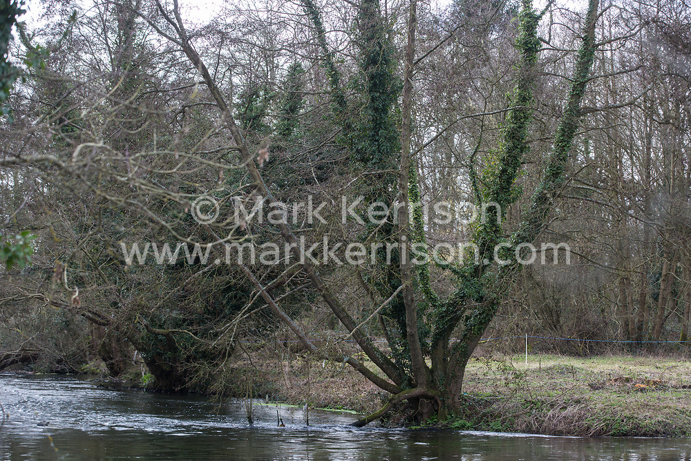 Denham, UK. 4 February, 2020. An area cleared for works for the HS2 high-speed rail link leading down to ancient alder trees, one of which with a girth of 11.6 metres, and the river Colne. Planned works in the immediate area are believed to include the felling of 200 trees and the construction of a roadway, Bailey bridge, compounds, fencing and a parking area. The other side of the river bank lies within a wetland nature reserve adjacent to a Site of Metropolitan Importance for Nature Conservation (SMI).