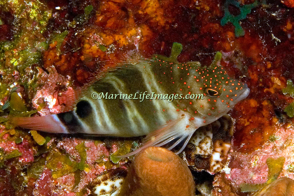 Redspotted Hawkfish inhabit reefs perching on the bottom in Tropical West Alantic; picture taken Dominica.