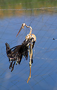 A dead stork caught in  net over a fish breeding pool. The net is placed over the fish breeding pool to prevent seabirds from feeding on the fish. Photographed in Israel