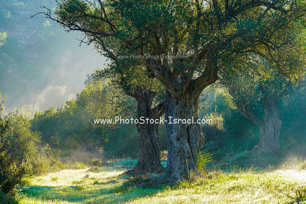 The Trunk of an Old Olive tree Photographed at Sataf, Jerusalem, Israel