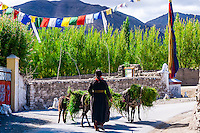 Woman carrying grass as feed on donkeys near the Stok Monastery, Leh Valley, Ladakh, Jammu and Kashmir State, India.