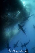 copper sharks or bronze whalers, Carcharhinus brachyurus, feeding in baitball of sardines or pilchards, Sardinops sagax, during annual Sardine Run, the Wild Coast, Transkei, South Africa ( Indian Ocean )