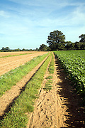 Sandy footpath track, Shottisham, Suffolk Sandlings, England