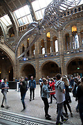 Suspended skeleton of a Blue Whale in Hintze Hall, the main entrance space at the Natural History Museum in London, England, United Kingdom. The museum exhibits a vast range of specimens from various segments of natural history. The museum is home to life and earth science specimens comprising some 80 million items within five main collections: botany, entomology, mineralogy, paleontology and zoology. The museum is a centre of research specialising in taxonomy, identification and conservation.
