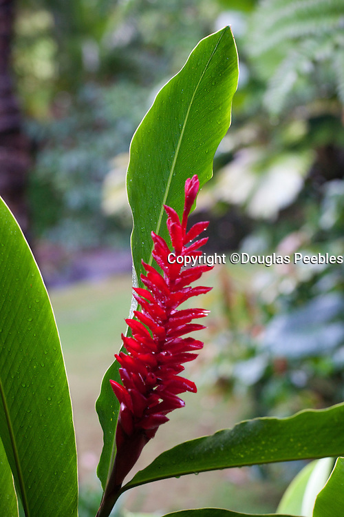 Red Ginger, Hawaii