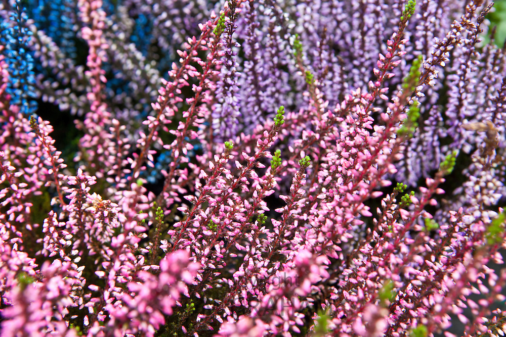 Colourful heather plants at garden centre in the Bordeaux region of France