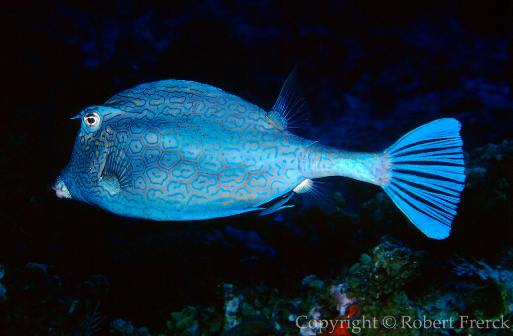 UNDERWATER MARINE LIFE CARIBBEAN, Fish; Honeycomb cowfish Acanthostracion