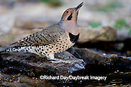 01193-013.11 Northern Flicker (Colaptes auratus) male at water, Marion Co. IL