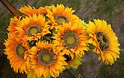 Sunflowers for sale at Polish outdoor market (Rynek). Spala Central Poland