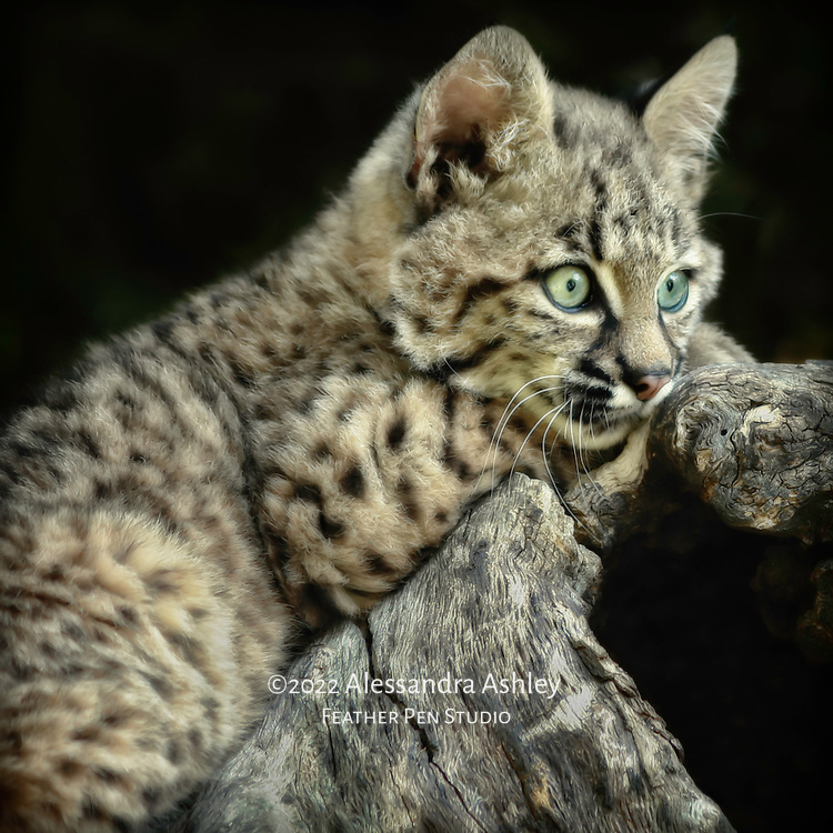 Bobcat kitten at rest on a log.  Photographed in naturalistic habitat, controlled conditions.