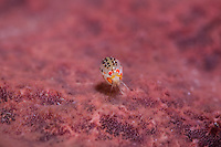 Tiny amphipod on sponge.