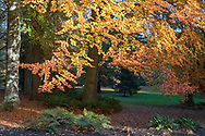 Autumn foliage on an unknown tree species next to the Dining Pavilion at Stanley Park in Vancouver, British Columbia, Canada