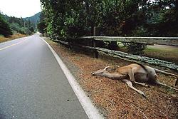 Dead Black-tailed Deer On Calf Road