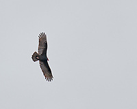 Turkey Vulture. Image taken with a Leica SL2 camera and 90-280 mm VR lens.
