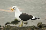 Kelp Gull, Larus dominicanus, calling, Ushuaia, Argentina, South America