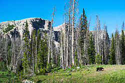 Grizzly Country, a sow and cub grizzly roaming the Shoshone National Forest of Northwest Wyoming.