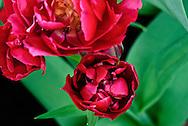 Double Early Tulip 'Bearingpoint' Keukenhof Spring Tulip Gardens, Lisse, The Netherlands.