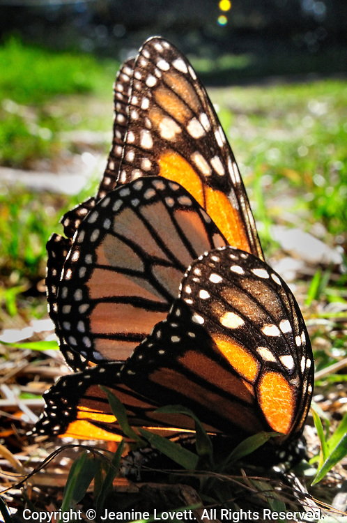 close-up of monarch butterfly mating on the ground.