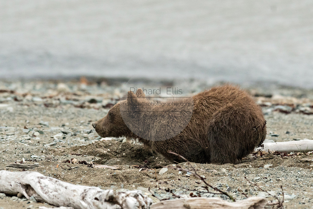 A brown bear spring cub plays in the sand on the beach along the Cook Inlet at the McNeil River State Game Sanctuary on the Kenai Peninsula, Alaska. The remote site is accessed only with a special permit and is the world's largest seasonal population of grizzly bears in their natural environment.