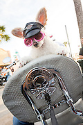 A  poodle dressed in a Harley hat and glasses sits on the back of a motorcycle alongside Main Street during the 74th Annual Daytona Bike Week March 8, 2015 in Daytona Beach, Florida. More than 500,000 bikers and spectators gather for the week long event, the largest motorcycle rally in America.