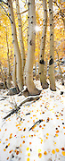 Aspen trees (Populus tremuloides) dropping their leaves in the snow after an autumn storm in the eastern Sierra Nevada Mountains near Bishop, CA