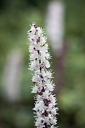 Actaea simplex 'Pink Spire' syn. Cimicifuga
