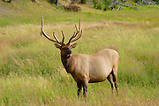 Male Adult Bull Elk In Yellowstone National Park