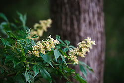 Texas Buckeye Tree (Aesculus glabra var. arguta) in flower, Texas Buckeye Trail, Great Trinity Forest, Dallas, Texas, USA.