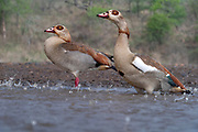 Pair of Egyptian geese (Alopochen aegyptiaca) during a rainstorm at Zimanga Private Reserve, South Africa.